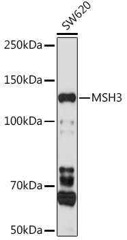 MSH3 Polyclonal Antibody