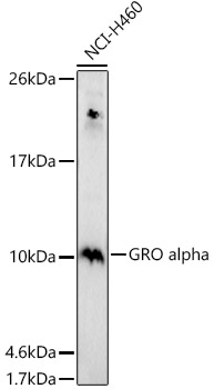 ABclonal:Western blot - GRO alpha Polyclonal Antibody (A5802)