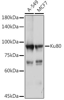 XRCC5 Polyclonal Antibody