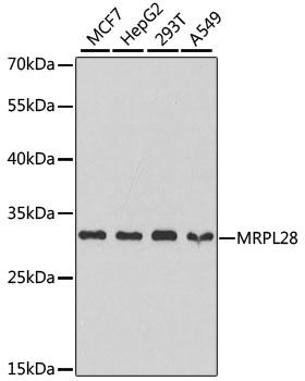 MRPL28 Polyclonal Antibody