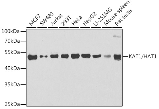 HAT1 Polyclonal Antibody