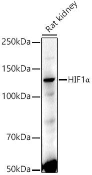 ABclonal:Western blot - HIF1α Rabbit pAb (A6265)