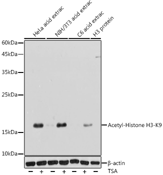 Acetyl-Histone H3-K9 Rabbit pAb