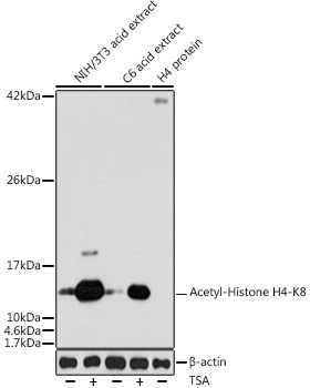Acetyl-Histone H4-K8 Rabbit pAb