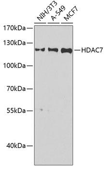 HDAC7 Polyclonal Antibody