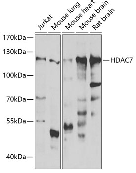 HDAC7 Rabbit pAb