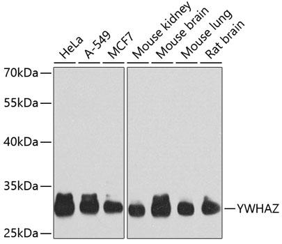 YWHAZ Polyclonal Antibody