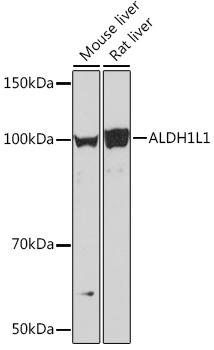 ABclonal:Western blot - ALDH1L1 Rabbit mAb (A7707) }