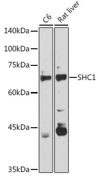 SHC1 Rabbit pAb