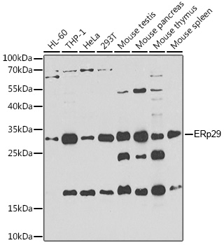 ABclonal:Western blot - [KO Validated] ERP29 Polyclonal Antibody (A7959)