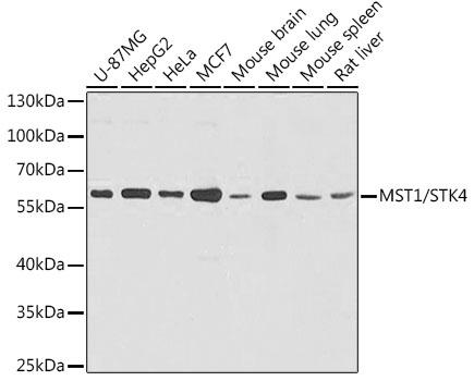 STK4 Polyclonal Antibody