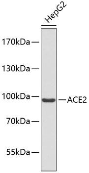 ABclonal:Western blot - ACE2 Polyclonal Antibody (A9454)