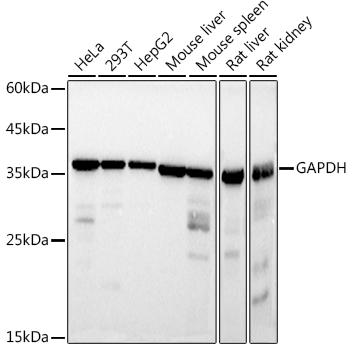 Western blot - GAPDH Monoclonal Antibody (CABC002)