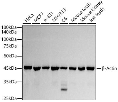 Western blot - ACTB Polyclonal Antibody (CABC006)