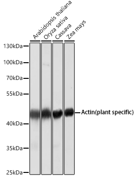 Western blot - Plant actin Monoclonal Antibody (CABC009)