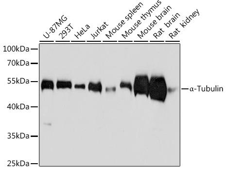 Western blot - alpha Tubulin Monoclonal Antibody (CABC012)