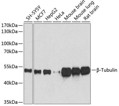 Western blot - Beta-Tubulin Monoclonal Antibody (CABC021)