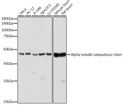 Western blot - alpha Tubulin Polyclonal Antibody (CABC025)