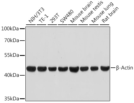 Western blot - ACTB Monoclonal Antibody (CABC026)