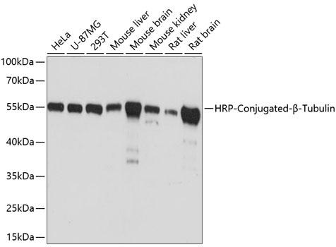 Western blot - HRP-conjugated Beta-Tubulin Monoclonal Antibody (CABC030)