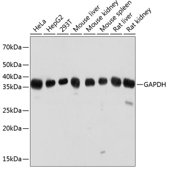 ABclonal:Western blot - GAPDH Mouse mAb (AC033)