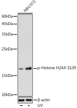 Phospho-Histone H2AX-S139 Rabbit pAb