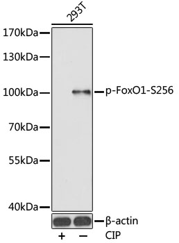 Phospho-FoxO1-S256 pAb