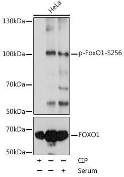 Phospho-FoxO1-S256 Rabbit pAb