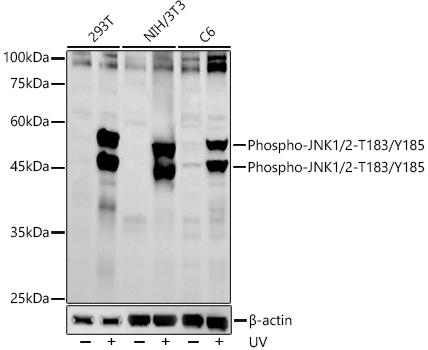 Phospho-JNK1/2-T183/Y185 Rabbit pAb