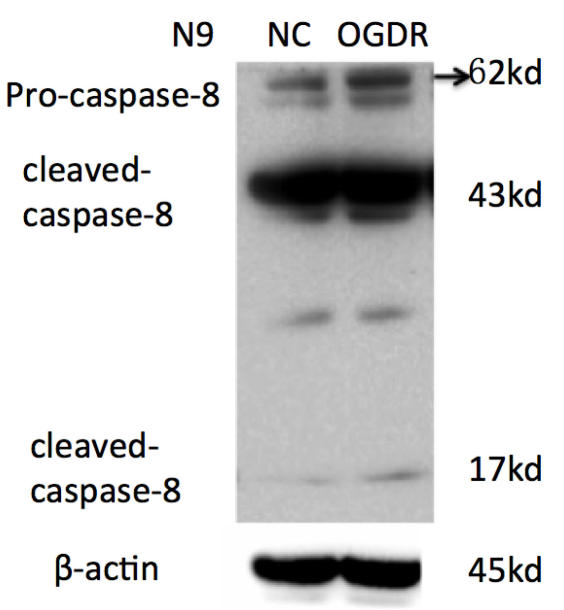 ABclonal: review for Caspase-8 Rabbit pAb(A0215)