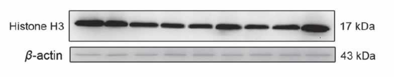 ABclonal: review for Histone H3 Rabbit pAb(A2348)