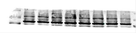 ABclonal: review for HIF1α Rabbit pAb(A6265)