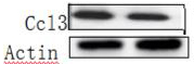 ABclonal: review for CCL3 Rabbit pAb(A7568)