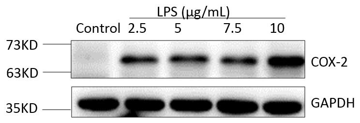 ABclonal: review for Cox2 Polyclonal Antibody(A1253)