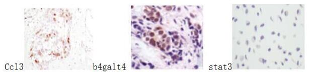 ABclonal:Immunohistochemistry (IHC) review for [KO Validated] STAT3 Polyclonal Antibody(A1192)