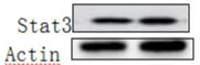 ABclonal:Western blot (WB) review for [KO Validated] STAT3 Polyclonal Antibody(A1192)