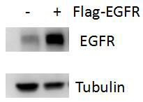 ABclonal:Western blot (WB) review for [KO Validated] EGFR Polyclonal Antibody(A11351)